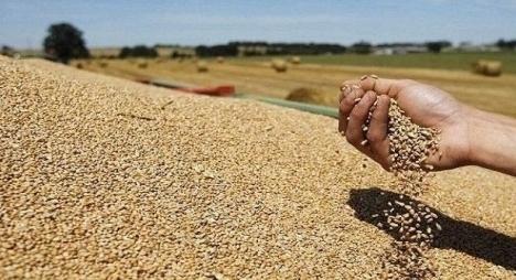 الحكومة تحدد السعر المرجعي للقمح عند التسليم للمطاحن وتُعلن عن منح جزافية للفلاحين