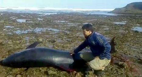 في بادرة إنسانية.. شباب من سيدي إفني ينقذون دلفينا ويعيدونه للبحر