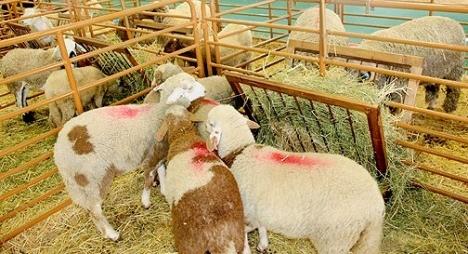 إنشاء وتجهيز 6 أسواق نموذجية لتسويق الماشية بجهة الرباط