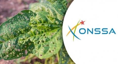 "ONSSA"""" يدعو إلى اليقظة بخصوص بكتيريا تصيب النباتات"