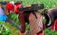 الترخيص لأزيد من 10 آلاف عقد عمل جديد لمزارعين...