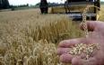 المغرب يسعى لشراء أزيد من 263 ألف طن من القمح...