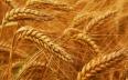 البنك الدولي يتوقع ارتفاع مخزون المغرب من القمح