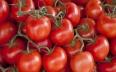"""""""حشرة"""" تمنع 93 طنا من الطماطم المغربية..."""